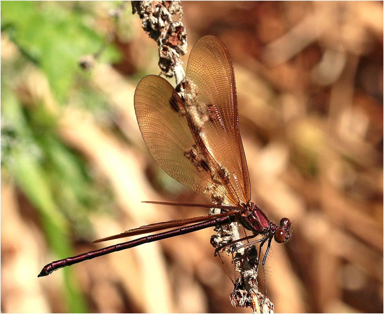 Calopteryx haemorrhoidalis mâle émergent, Saint-Martin-lès-Melle (France -79), 15/07/2019