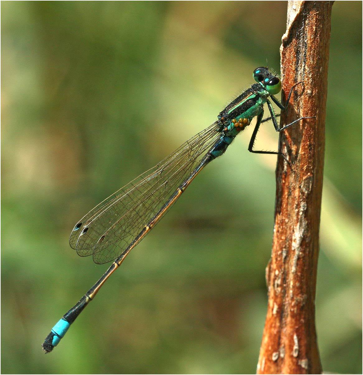 Ischnura senegalensis mâle, Ethiopie, Lac Awasa, 31/10/2018