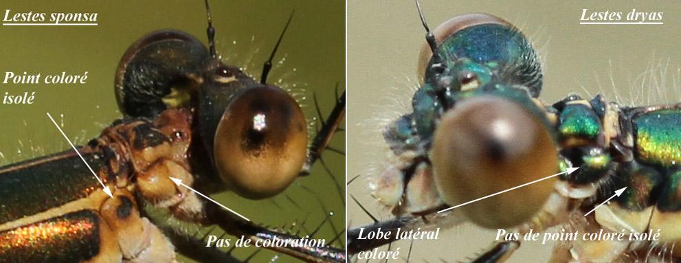 Comparaison lobe pronotum et tache colorée L. sponsa / L. dryas
