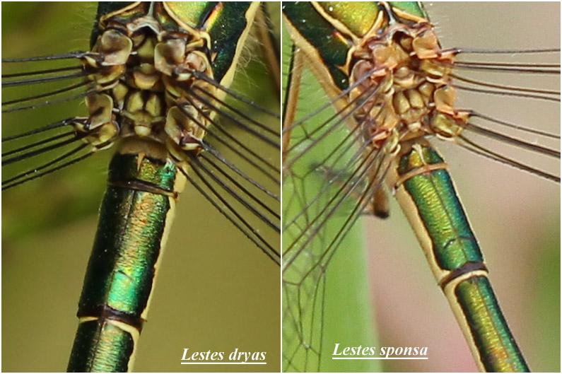Comparaison premier segment abdominal L. dryas vs L. sponsa