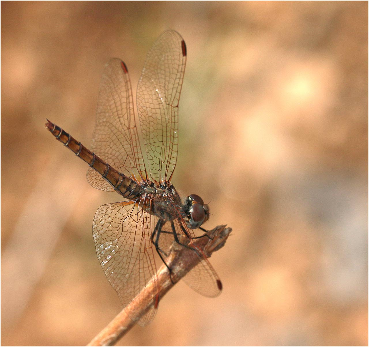 Trithemis annulata femelle, Ethiopie, Weito River, 25/10/2018