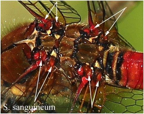 Sympetrum sanguineu mâle, coloration implantations alaires, le Fuilet (FRance - 49), 01/07/2012