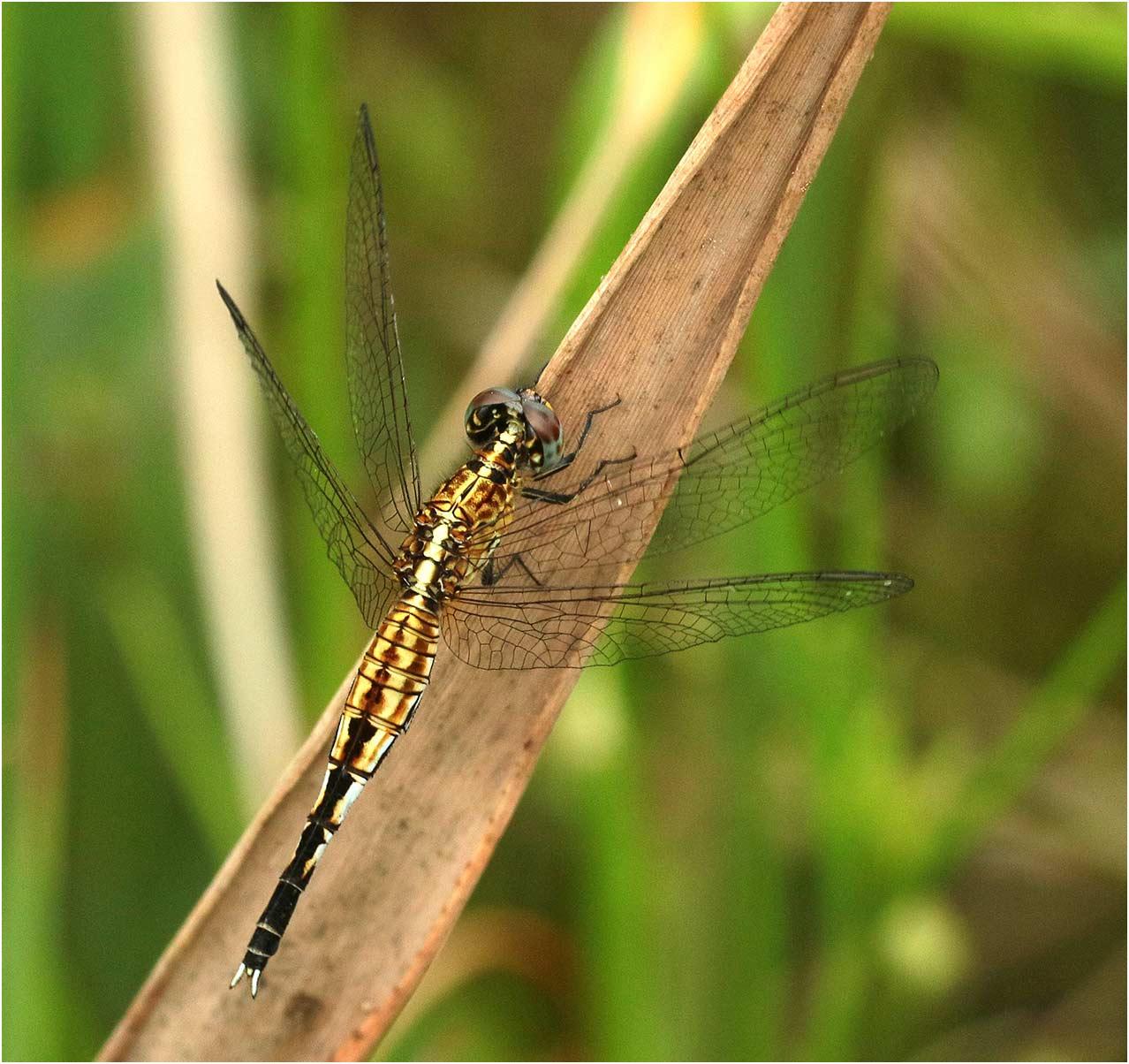 Acisoma inflatum femelle, Namibie, Mapulanga, Kwando River, 18/02/2020