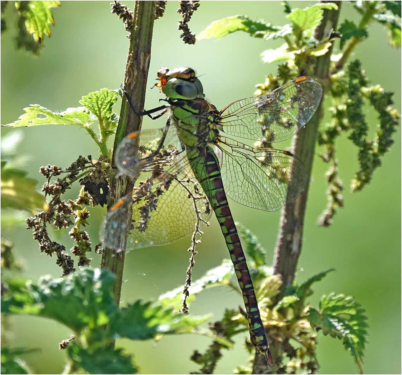 Aeshna affinis femelle, Parc du confluent, Portet sur Garonne (France – 31), 19/07/2019 (Photo Catherine Guillon)