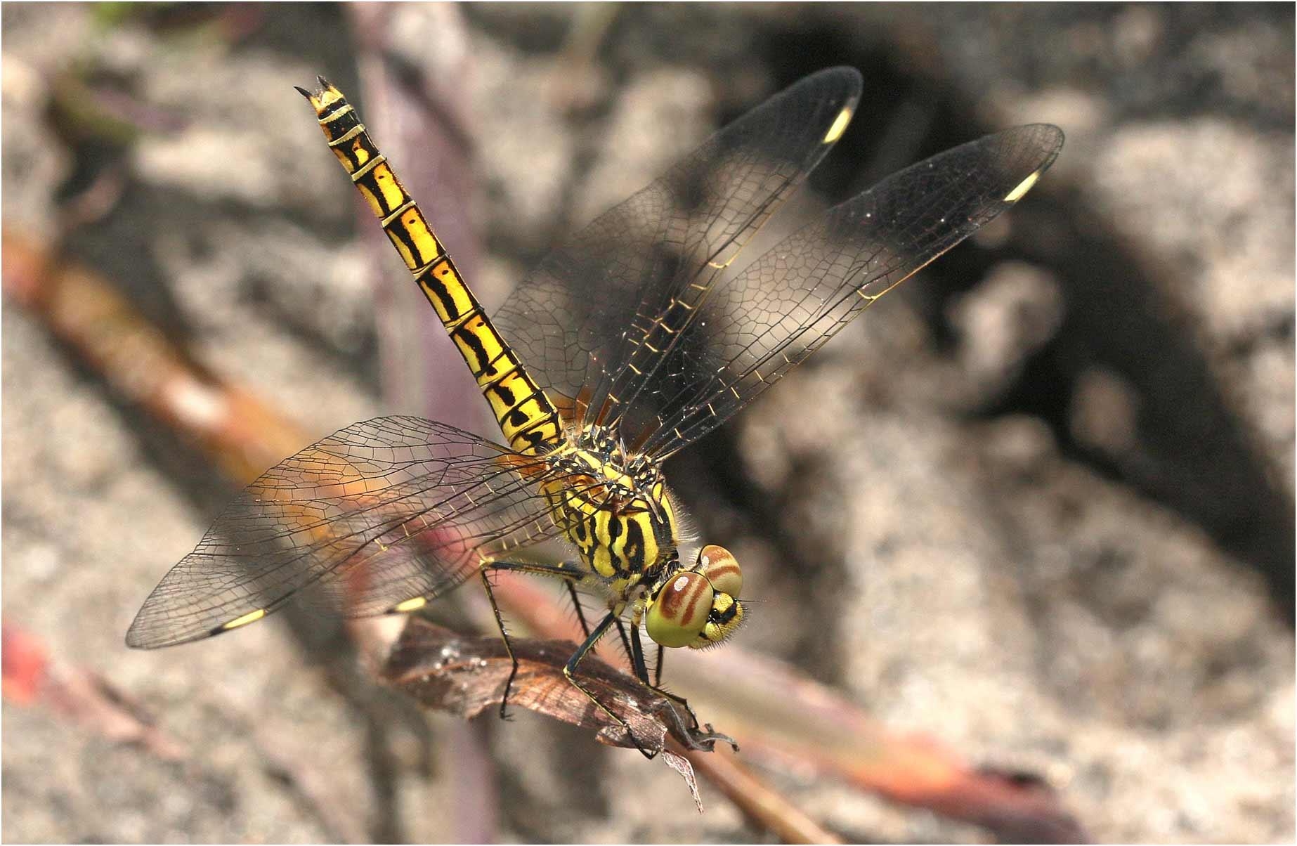 Brachythemis leucosticta femelle, Namibie, parc national de Bwabwata, Bum Hill, 14/02/2020