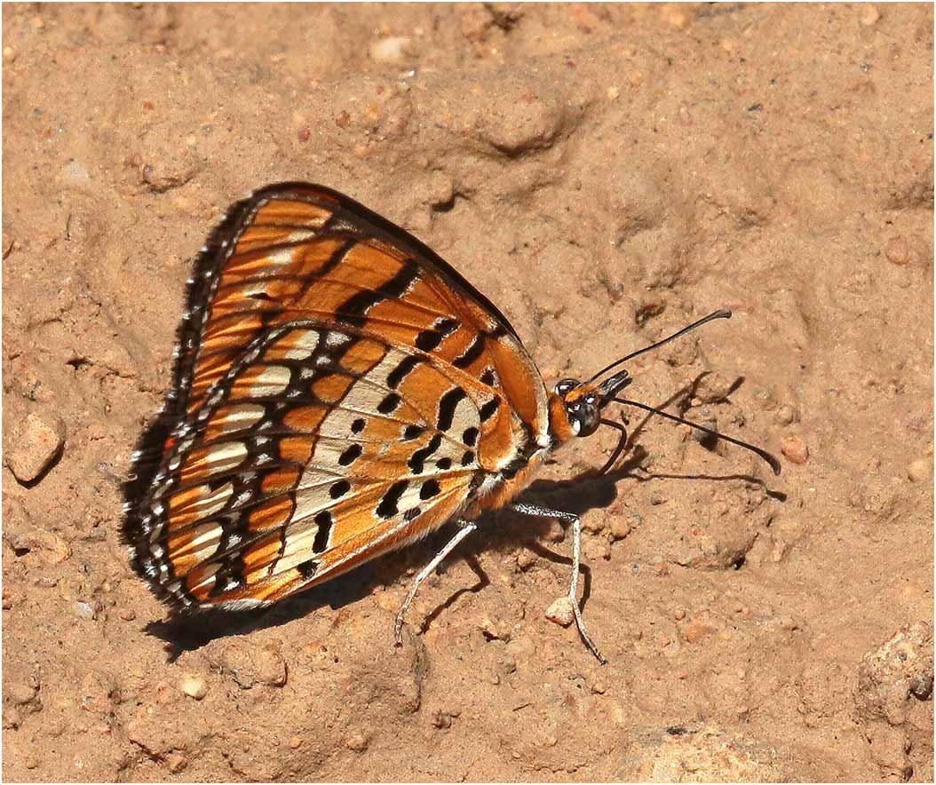 Byblia ilithyia, Namibie, Kombat, 09/02/2020