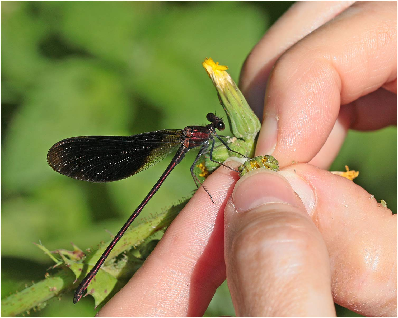 Calopteryx haemorrhoidalis mâle, Saint Martin-lès-Melle (France-79), 15/07/2019