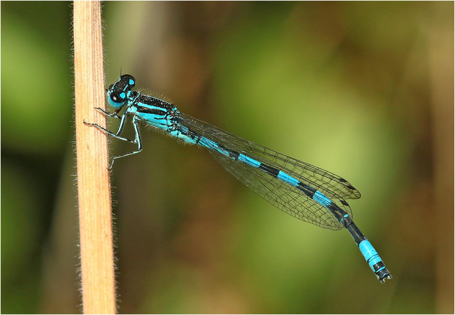 Coenagrion mercuriale mâle, Chemillé (France - 49), 07/06/2020