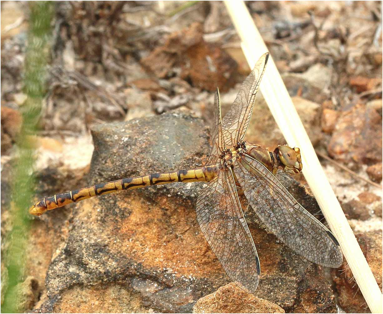 Crenigomphus cornutus, Namibie, Katima Mulilo, rapides du Zambèze, 17/02/2020