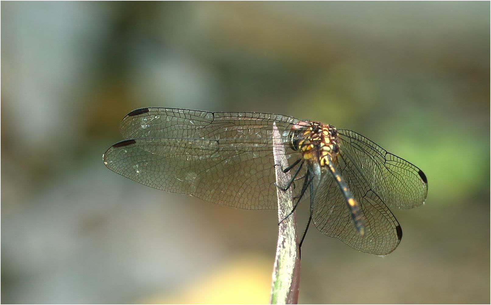 Dythemis sterilis femelle, Mexique, Arriaga (Chiapas), 26/10/2019