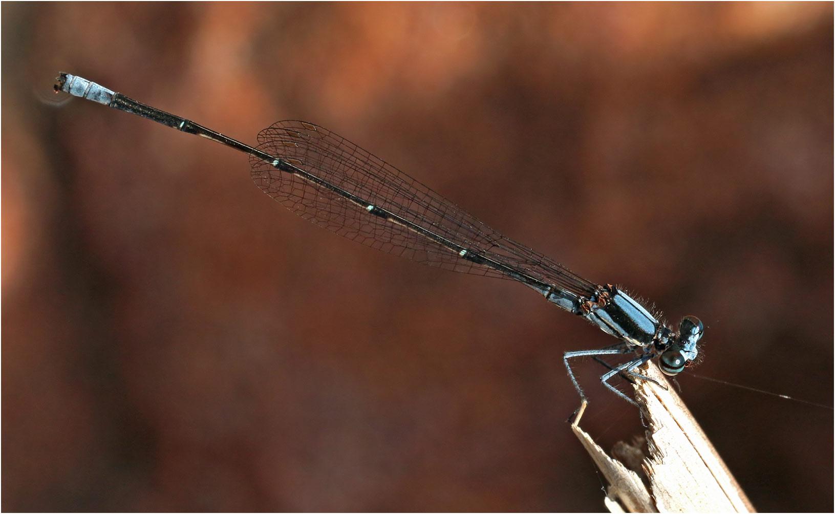 Elattoneura mâle, Namibie, Rundu sur l'Okavango, 10/02/2020
