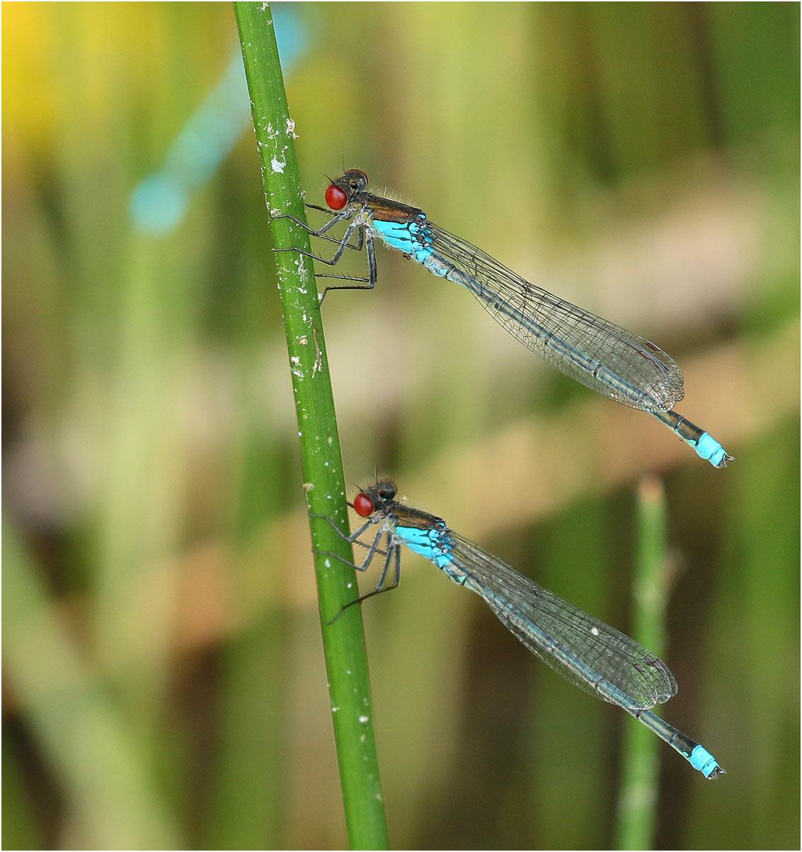 Erythromma najas mâles, Gennes sur Loire, 31/07/2020