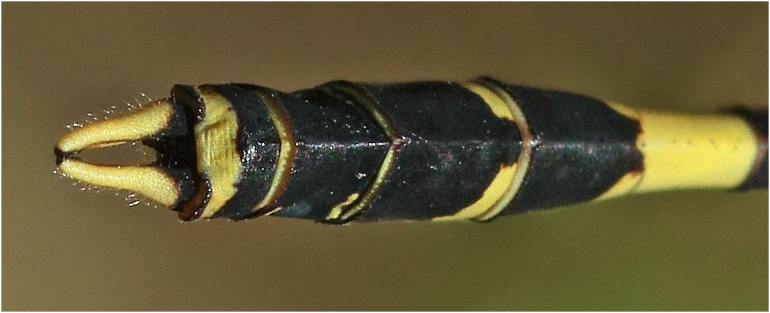 Gomphidia quarrei mâle, Namibie, Katima Mulilo sur le Zambèze, 13/02/2020