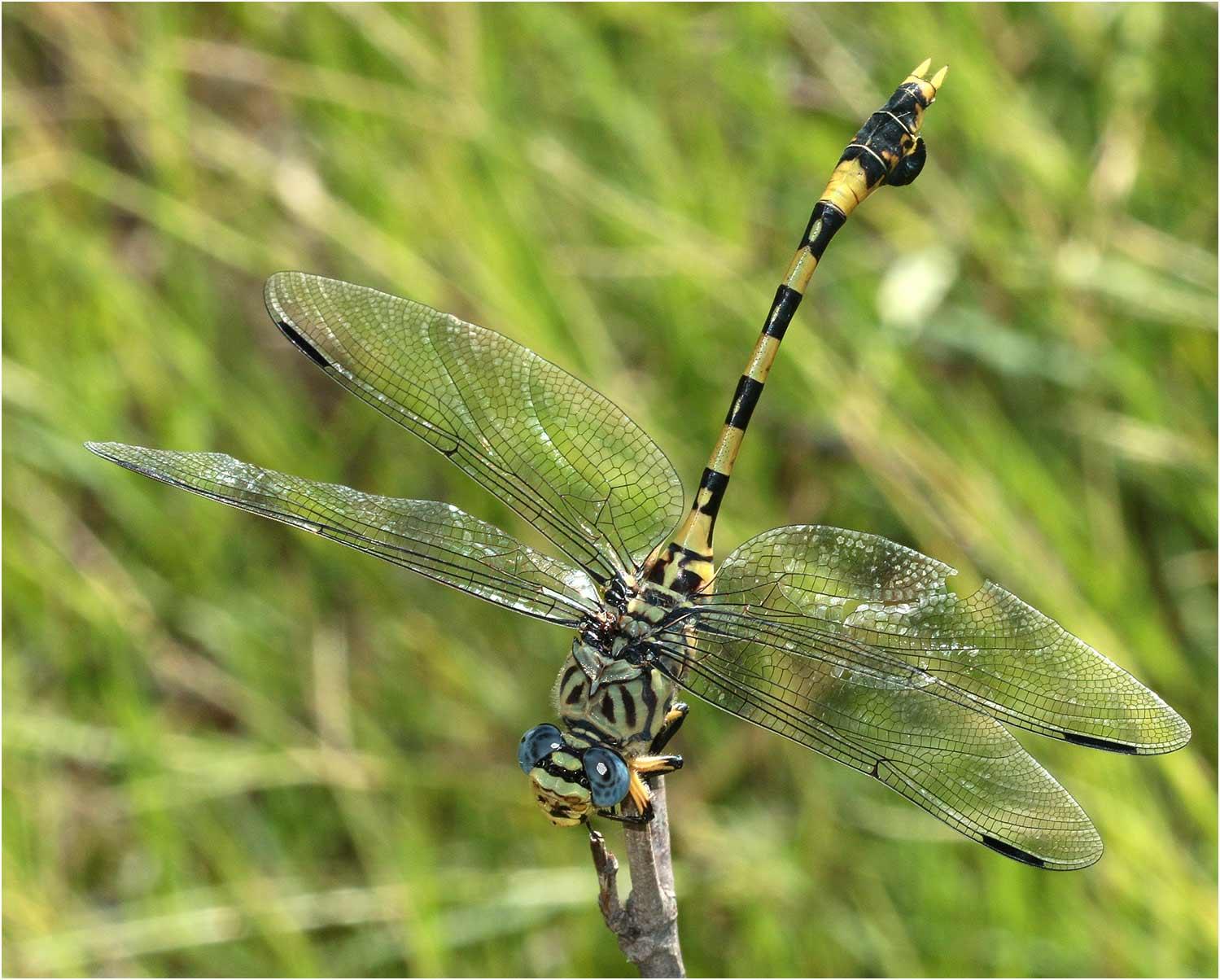 Ictinogomphus ferox femelle, Namibie, Rundu, 10/02/2020