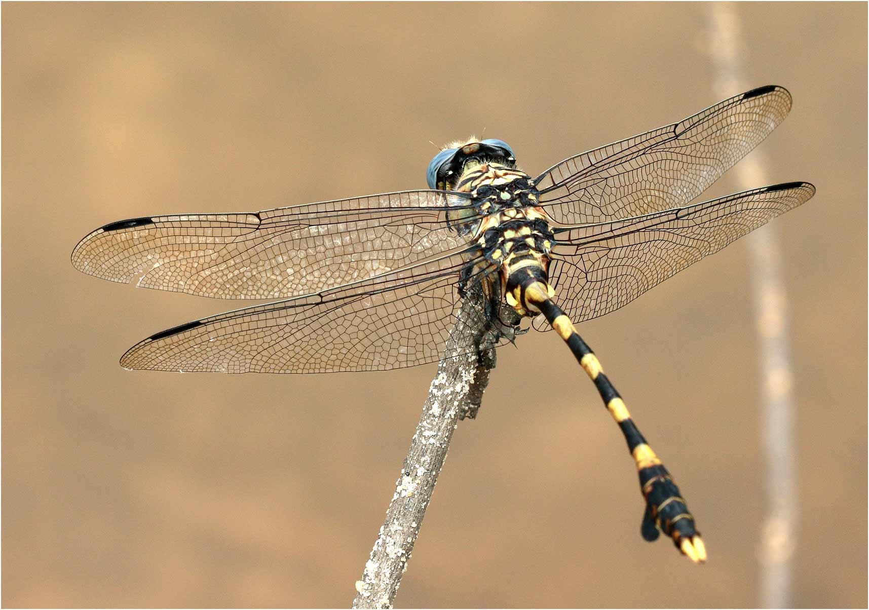 Ictinogomphus ferox mâle, Namibie, Katima Mulilo, 15/02/2020