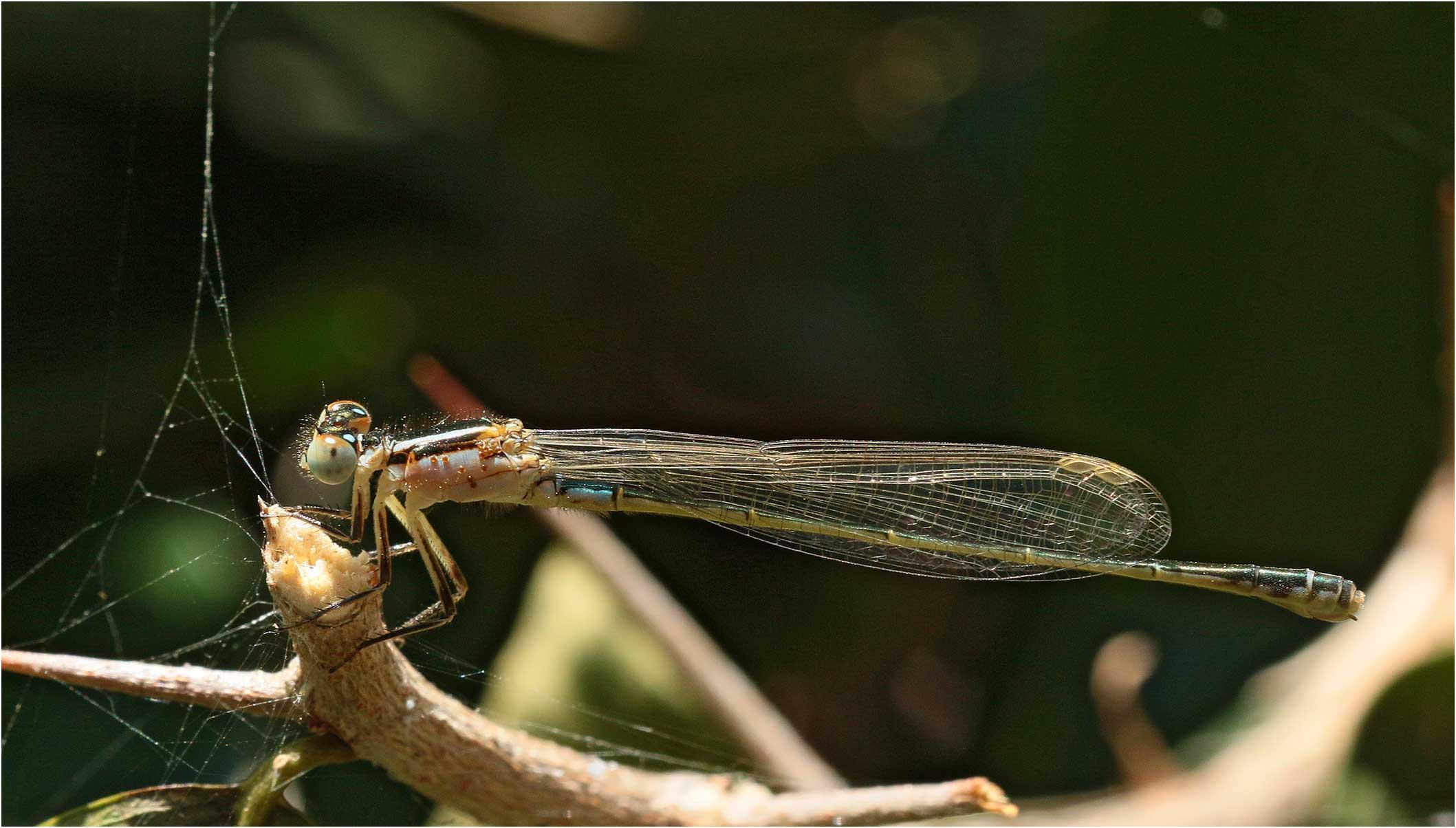 Ischnura senegalensis femelle, Ethiopie, lac Awasa, 31/10/2018