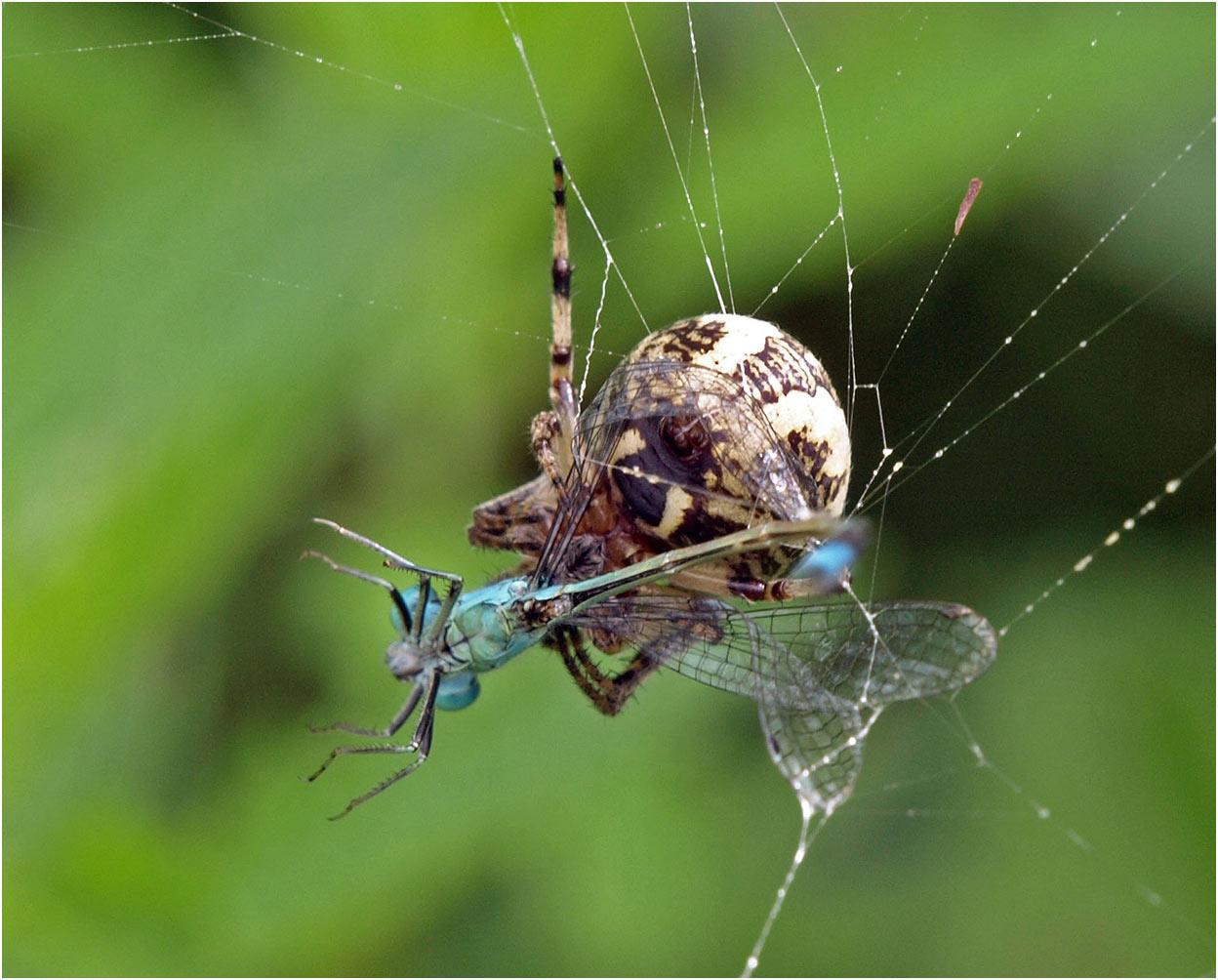 Prédation Larinoides cornutus sur Ischnura elegans mâle, Beaupréau (France - 49), 15/08/2007