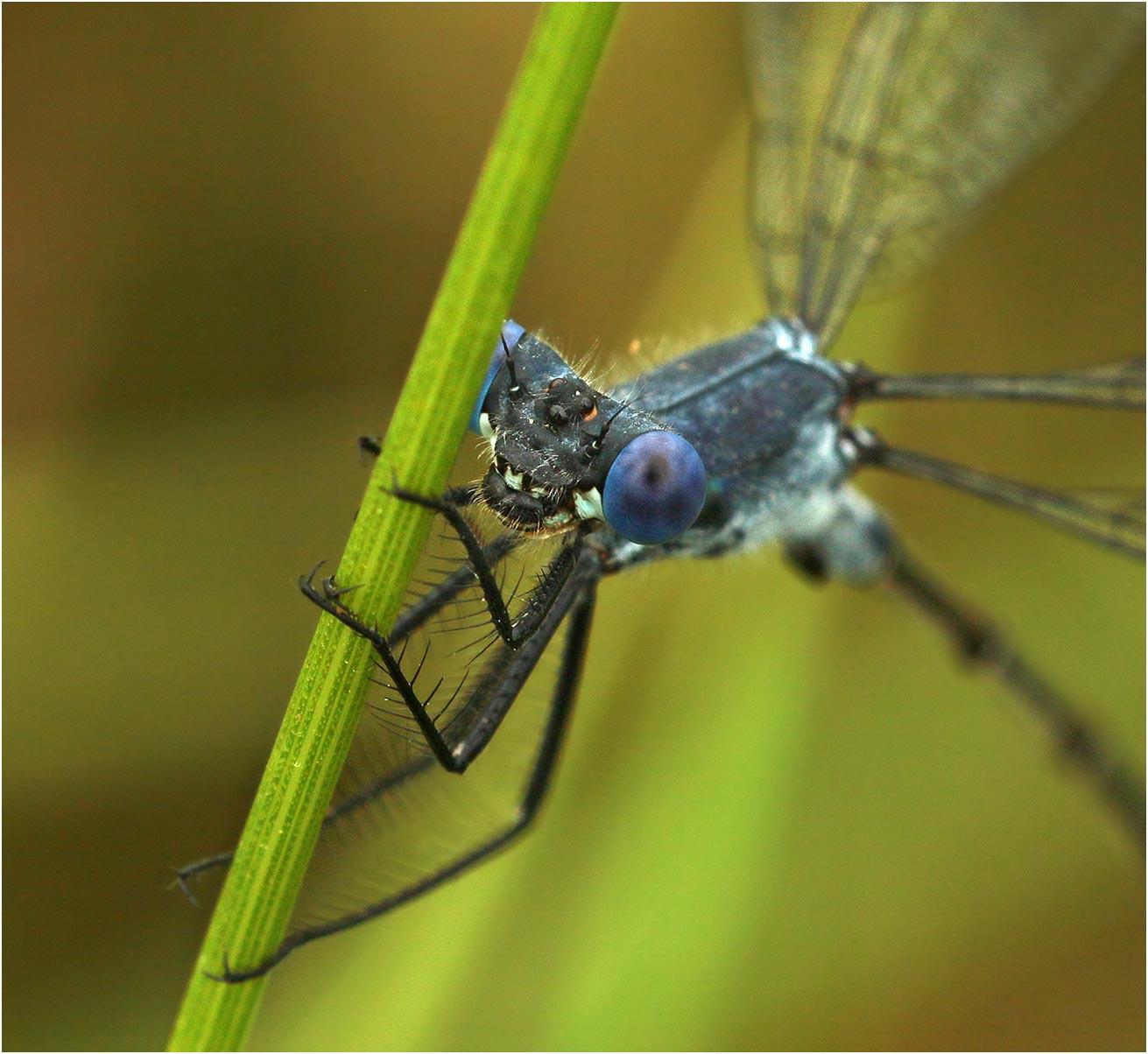 Lestes macrostigma mâle, France (Vendée - 85), 26/06/2020