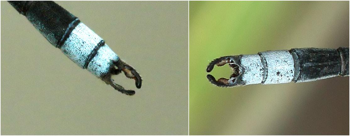Lestes pallidus mâle, appendices anaux, Namibie