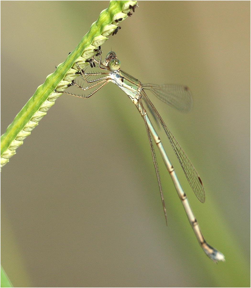 Lestes pallidus femelle, Namibie, Kalambesa, 15/02/2020