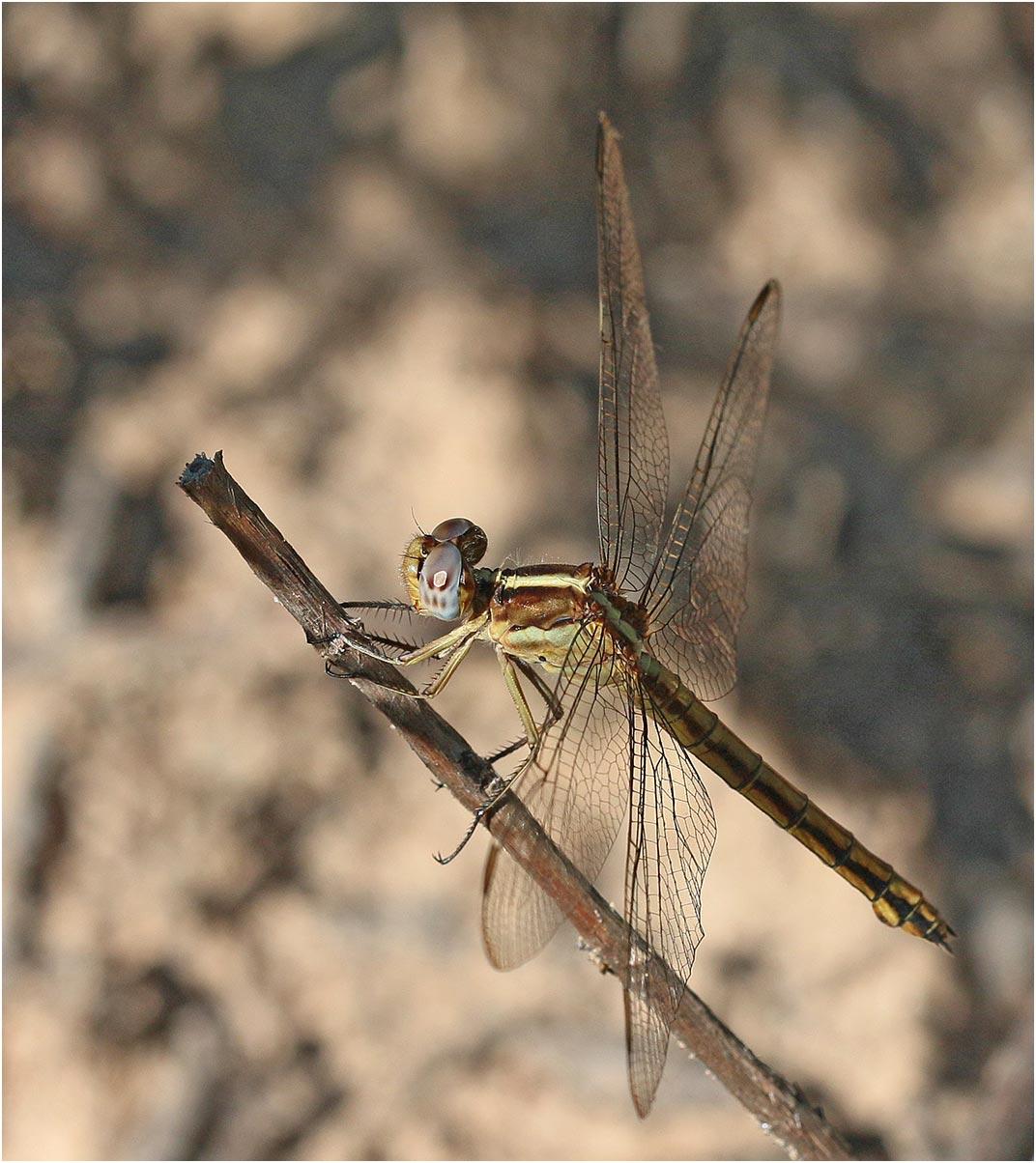 Nesciothemis farinosa femelle, Namibie, Rundu sur l'Okavango, 10/02/20