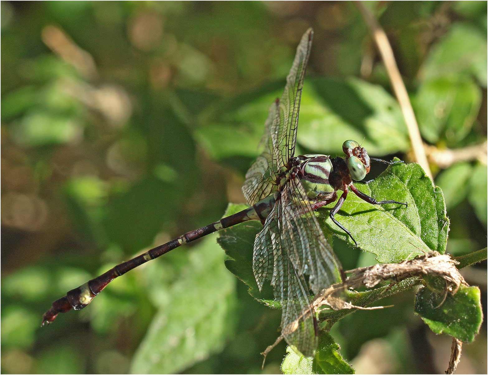 Neurogomphus zambeziensis mâle, Namibie, Katima Mulilo, Wenela border post, le long rapides du Zambèze