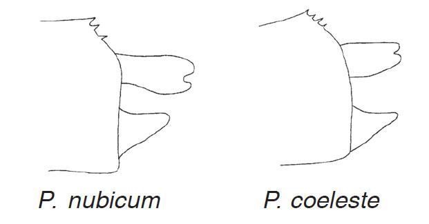 Appendices anaux Pseudagrion nubicum vs coeleste, Dragonflies and Damselflies of Namibie, Suhling & Martens, 2007