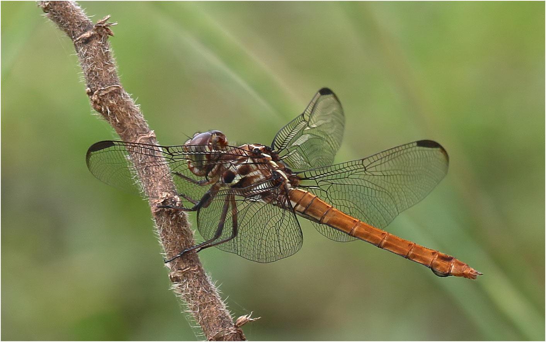 Orthemis ferruginea femelle, Mexique, Palenque (Chiapas), 29/10/2019