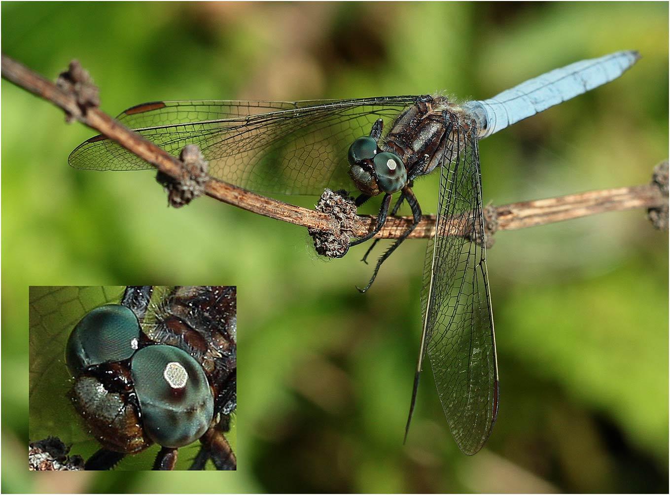 Orthetrum coerulescens mâle au front vert, Saint-Martin-lès-Melle (France -79), 15/07/2019