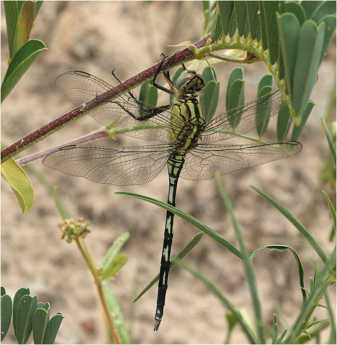 Orthetrum trinacria mâle immature, Namibie, barrage Von Bach, 22/02/2020