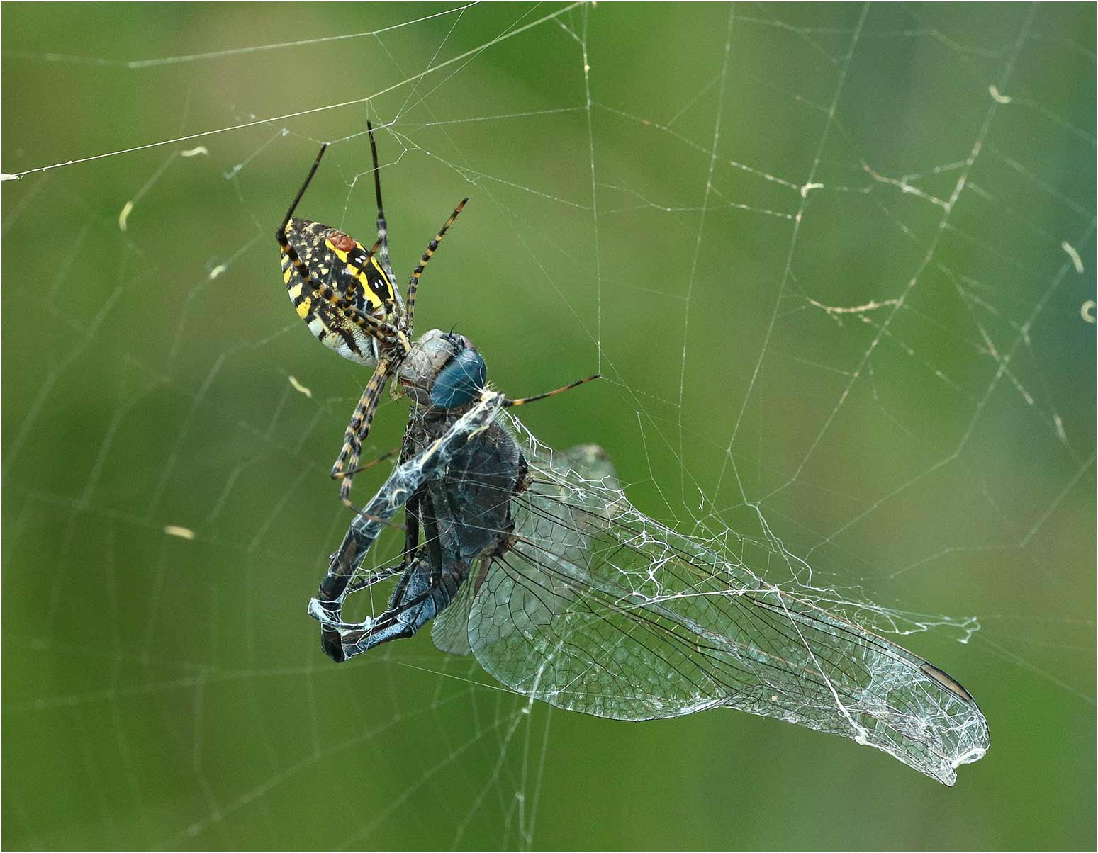Orthetrum trinacria mâle victime d'une araignée, Namibie, Singalamwe, 12/02/2020