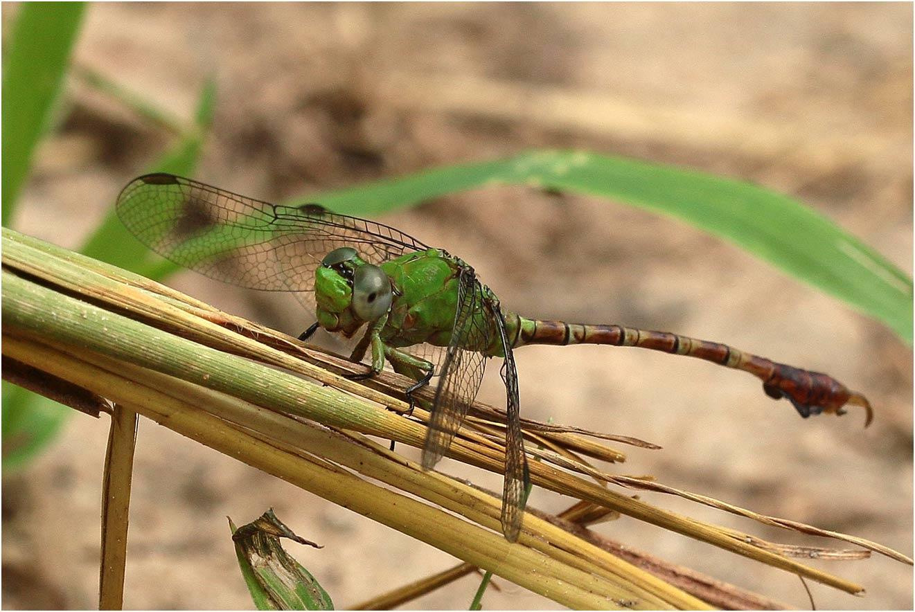Paragomphus cataractae mâle, Namibie, Katima Mulilo, Wenela border post, le long du Zambèze, 17/02/2020