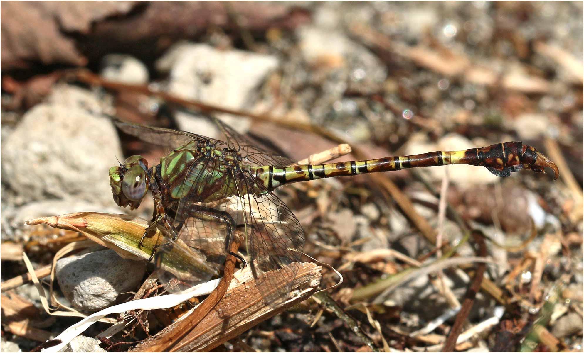 Paragomphus genei mâle, Ethiopie, lac Awasa, 31/10/2018