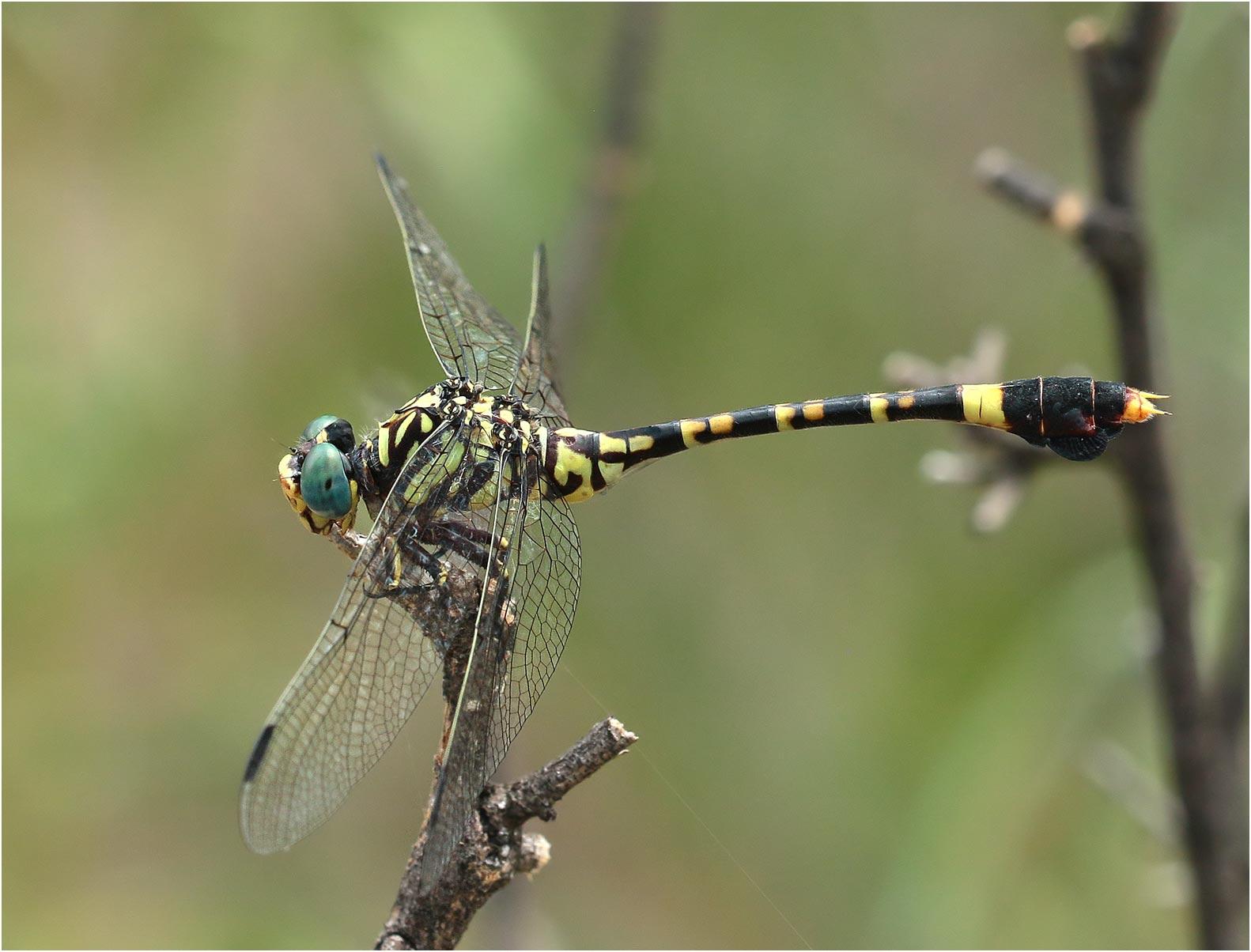 Paragomphus sabicus femelle, Namibie, Rundu le long de l'Okavango, 10/02/2020