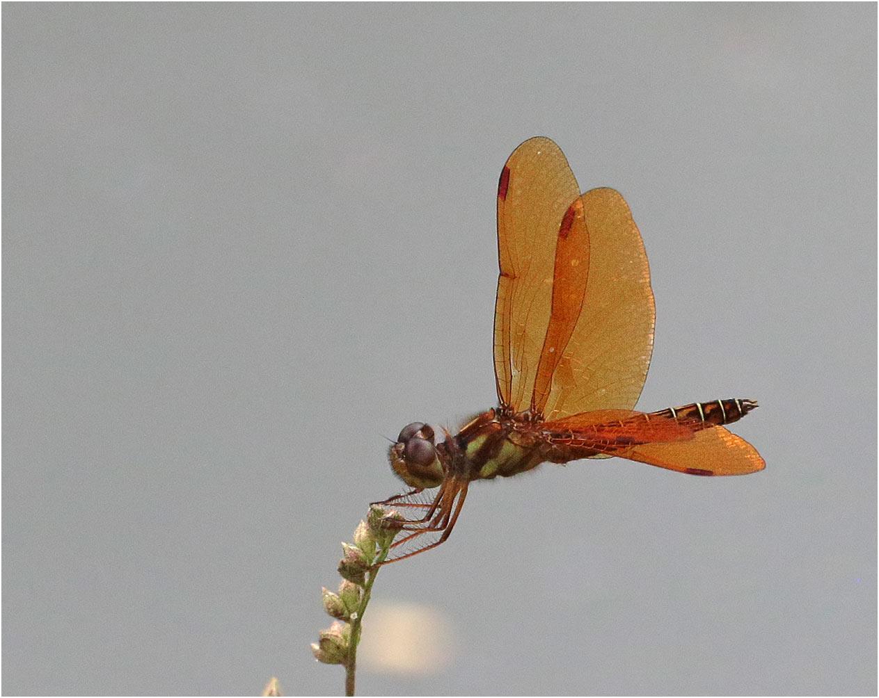 Perithemis mooma, Laguna de las ilusiones, Villahermosa, Tabasco, 28/10/2019