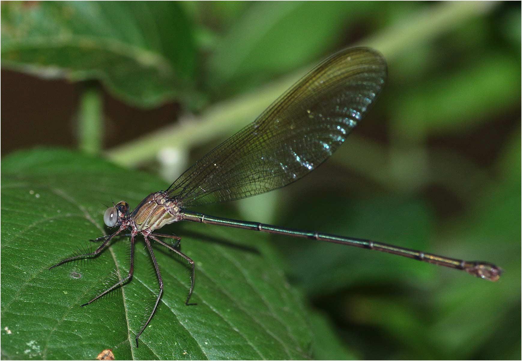 Phaon iridipennis femelle, Namibie, Popa Fall (Okavango), 18/02/2020