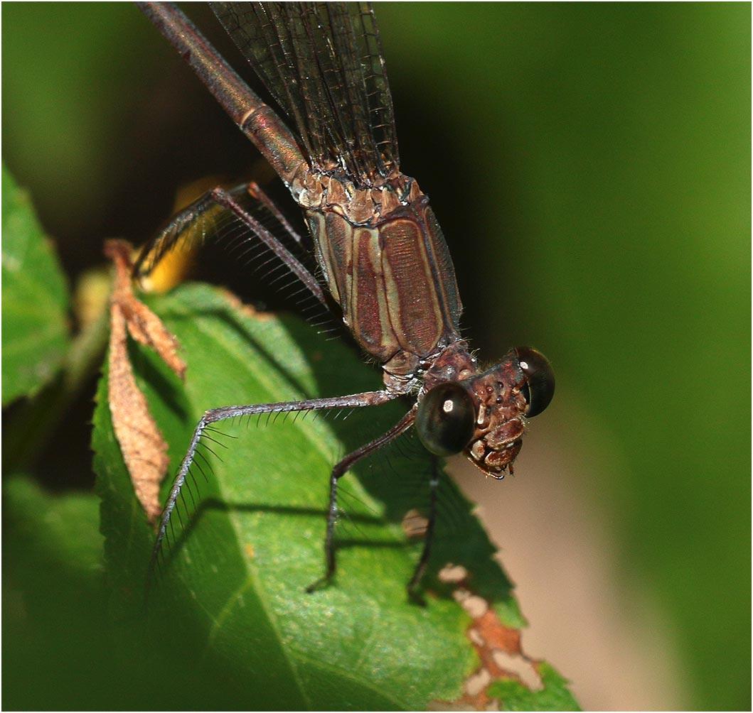 Phaon iridipennis femelle, Namibie, Popa Fall (Okavango), 19/02/2020