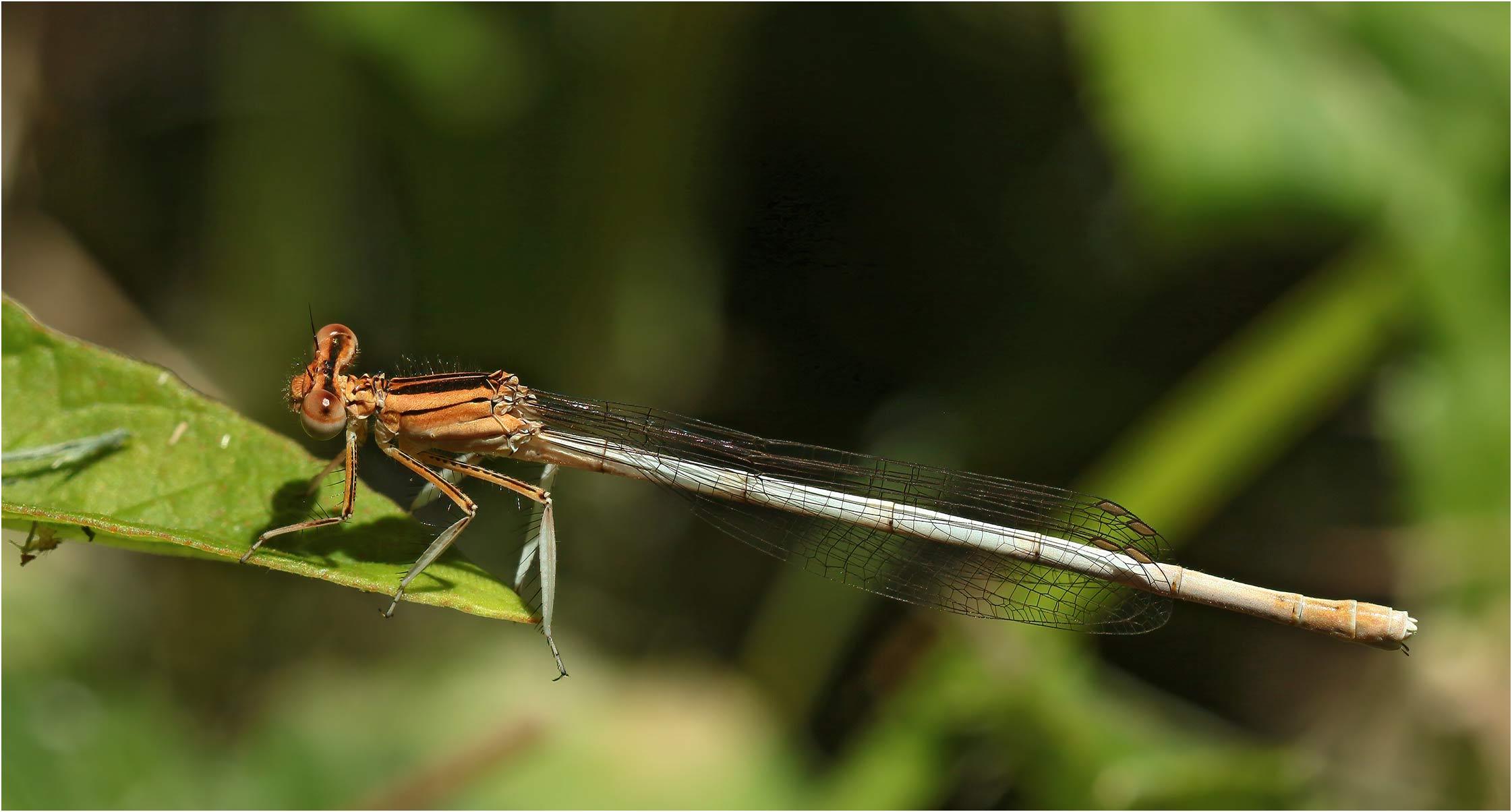 Platycnemis latipes femelle, l'Isle sur Tarn (France--81), 08/07/2020