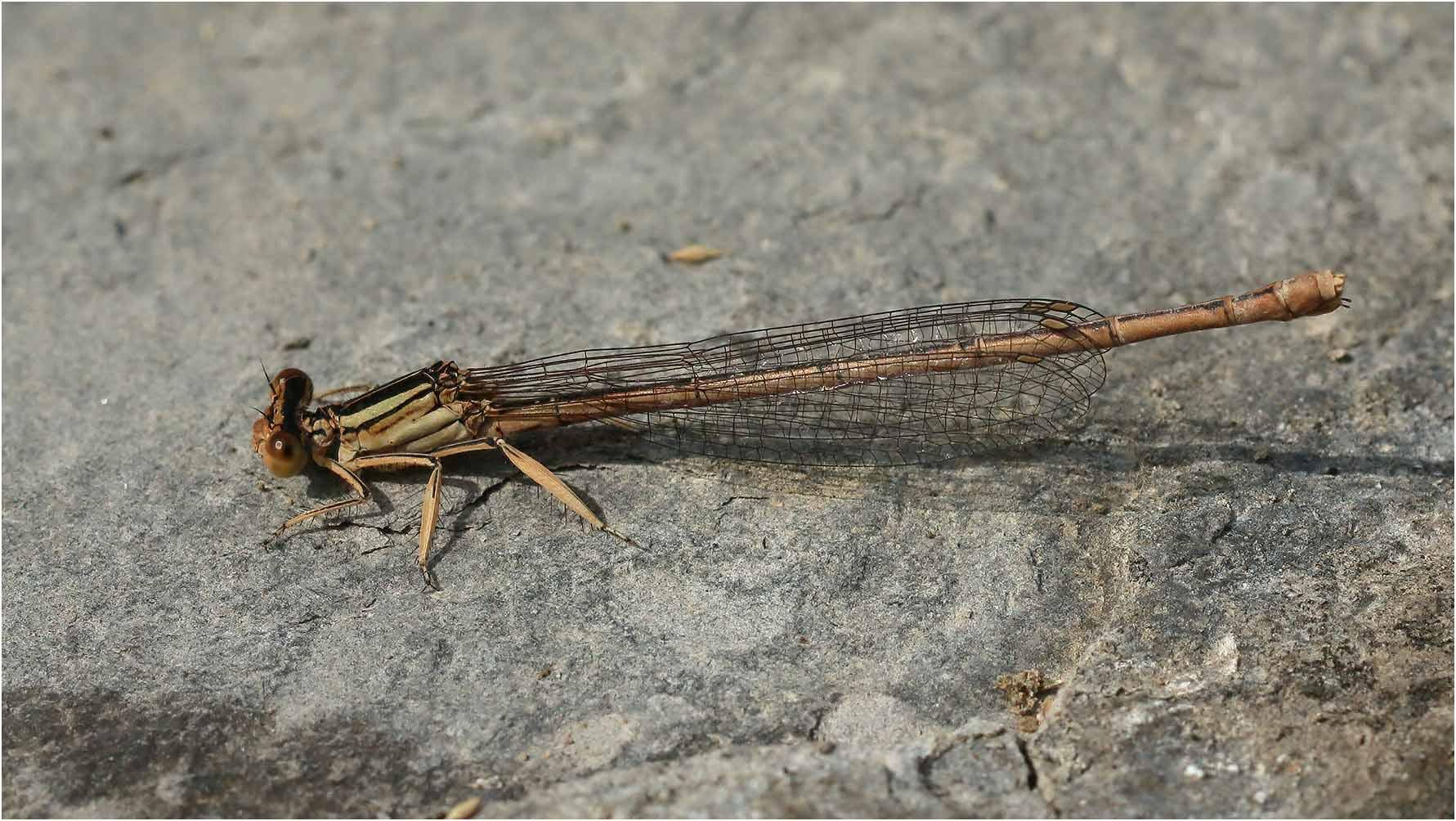 Platycnemis latipes femelle, Montreal (France-07), 14/07/2020