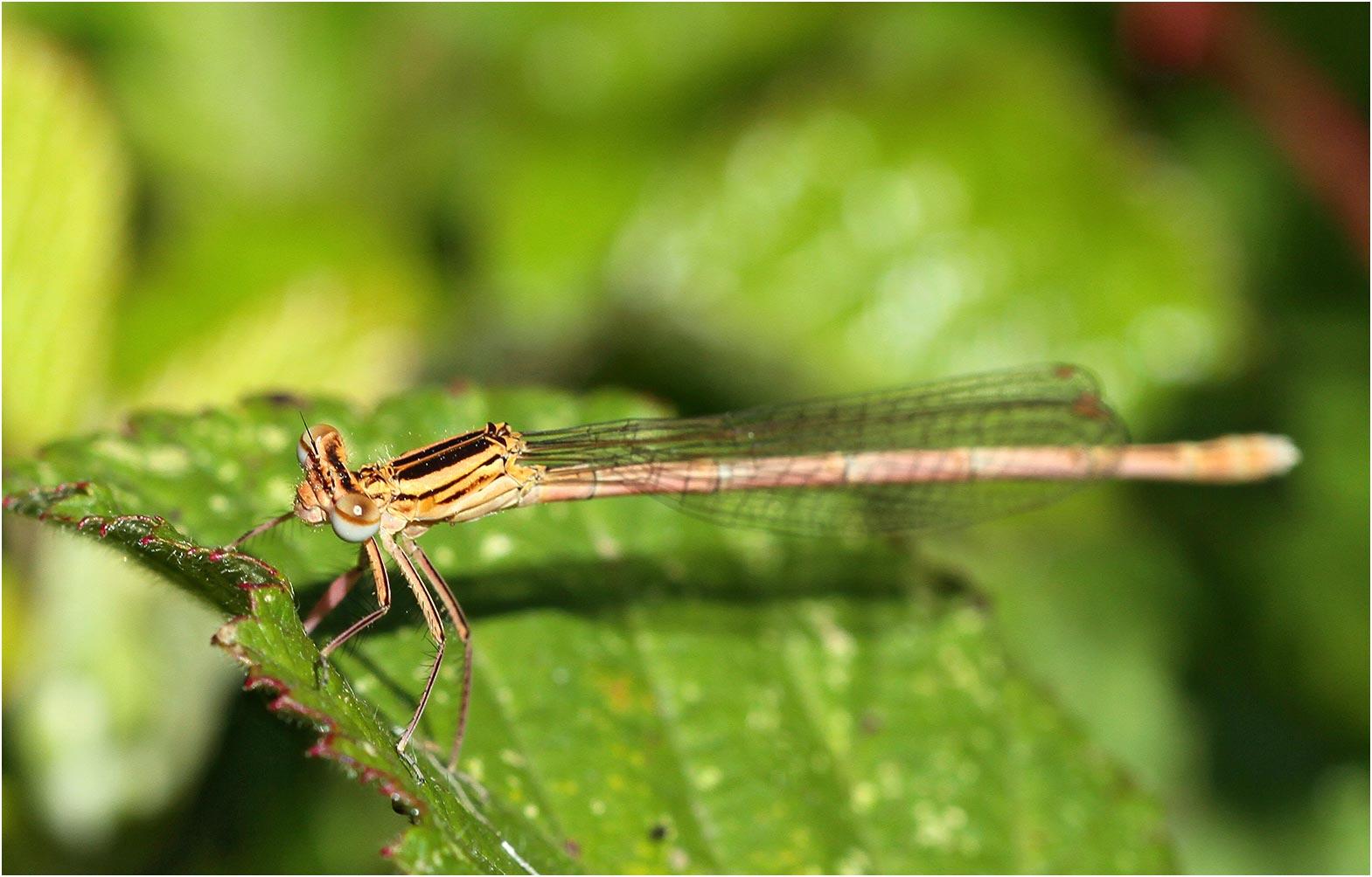 Platycnemis pennipes femelle portant des épines mésothoraciques, Andrezé (France - 49), 06/06/2015