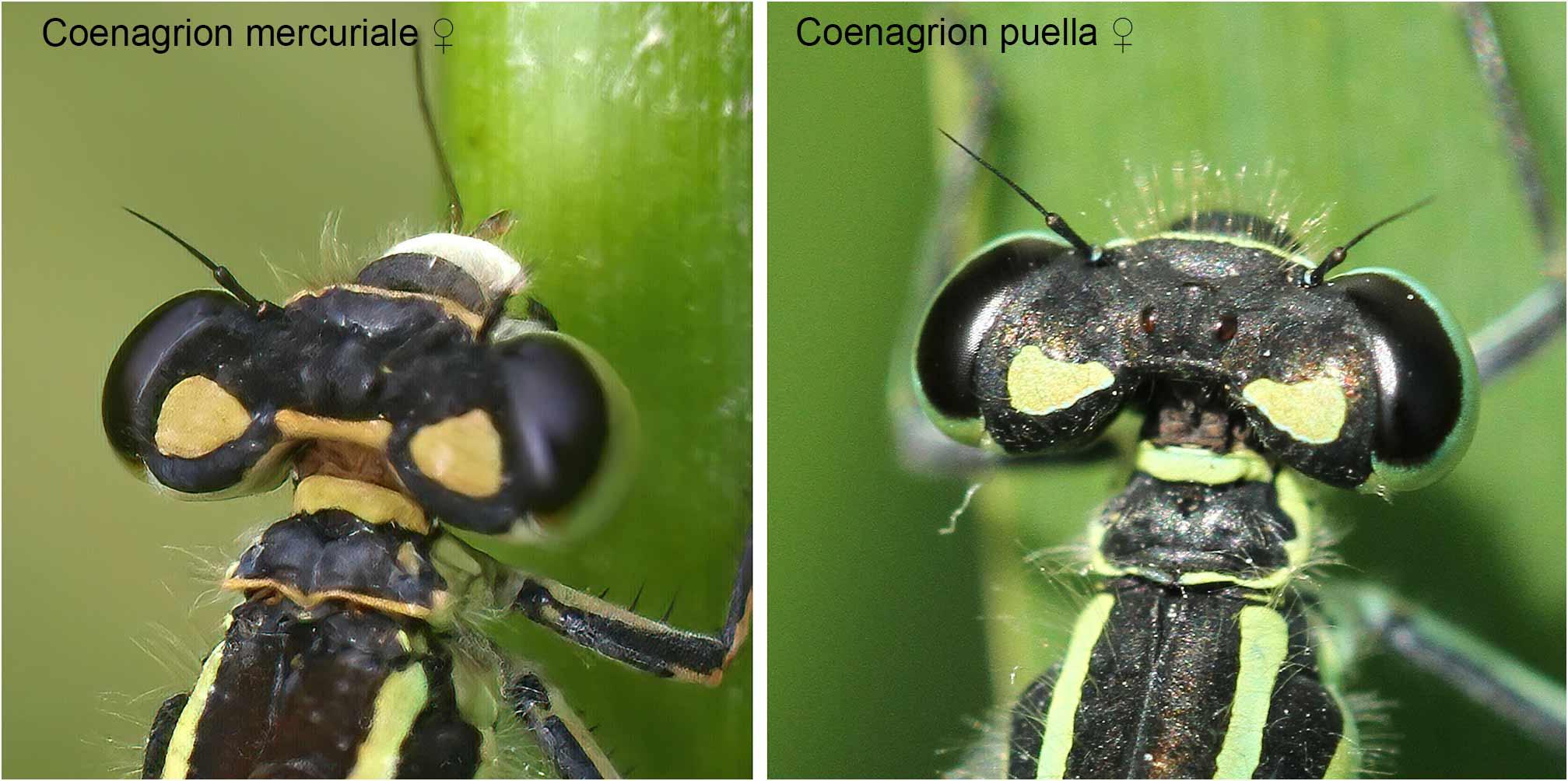 Comparaison des pronotum de C. mercuriale et C. puella