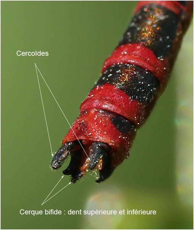 Pyrrhosoma nymphula mâle, appendices anaux, Beaupréau en Mages (France-49), 23/05/2012