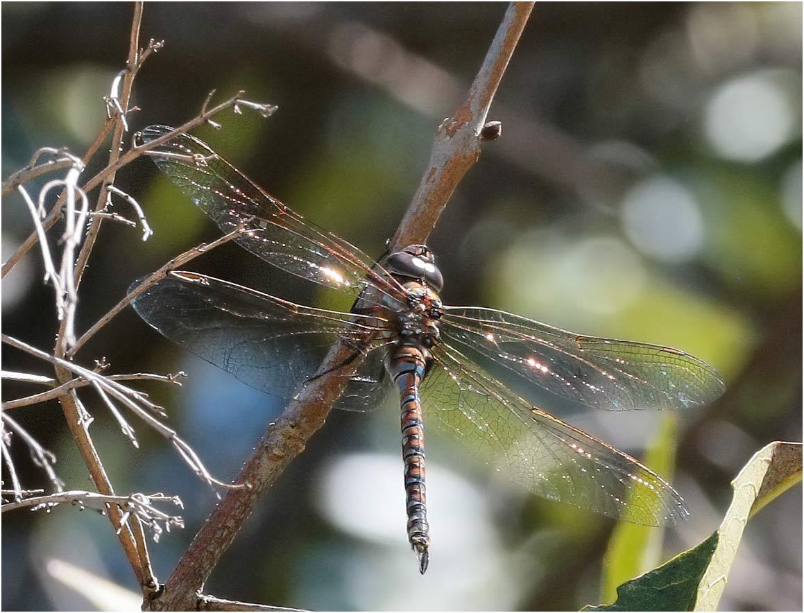 Rhioaeschna multiciolor femelle, Mexique, Cholula (Puebla), 23/10/2019