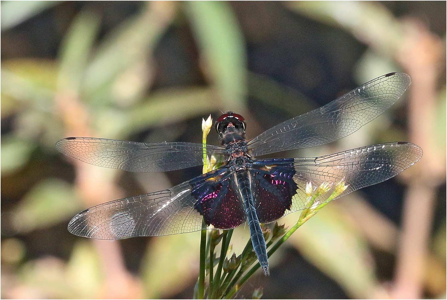 Rhyothemis semihyalina mâle, Namibie, barrage Van Bach, 08/02/2020