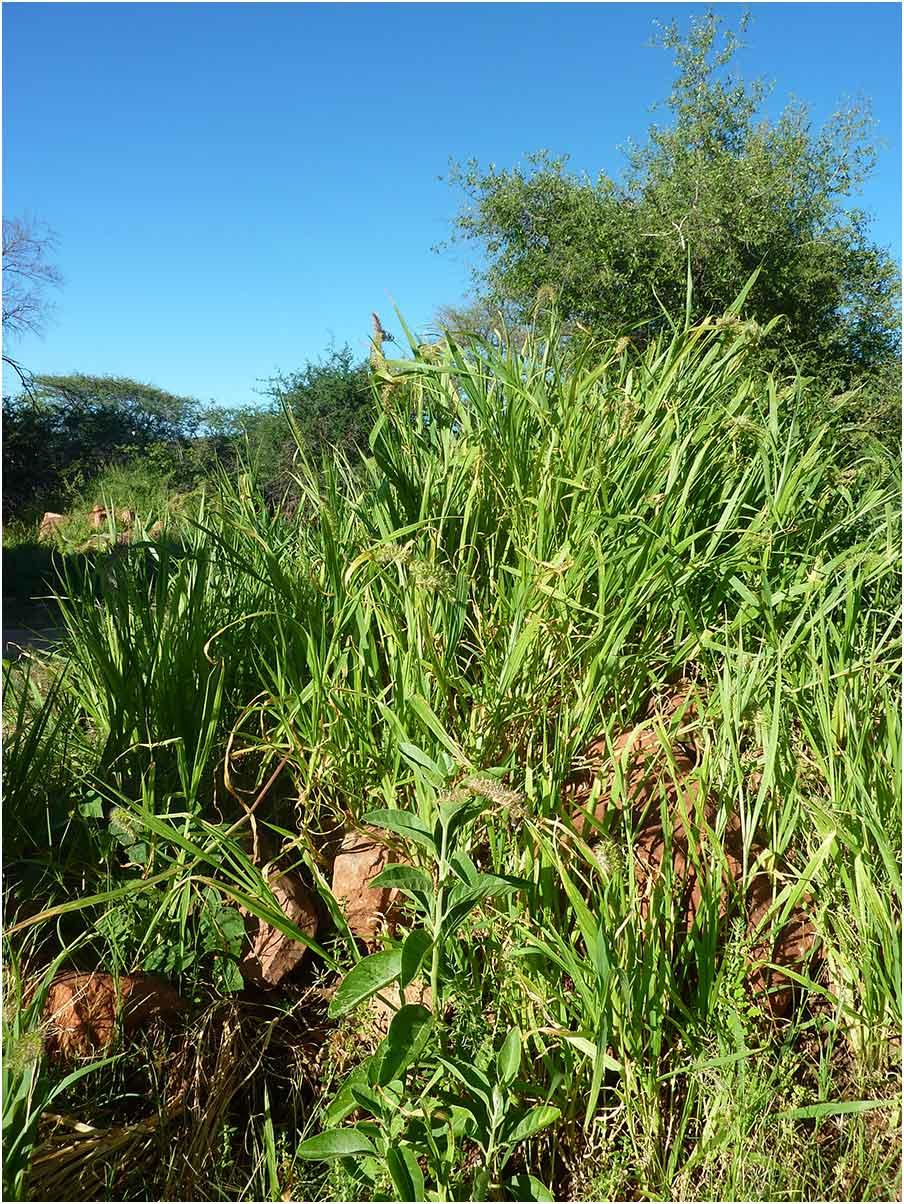 Setaria verticillata, Waterberg Plateau National Park, 09/02/2020