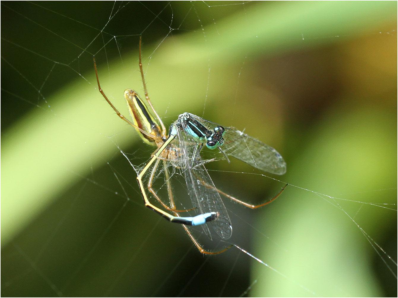 Ischnura elegans mâle piégé par Tetragnatha extensa, Beaupréau (France - 49), 24/06/2013