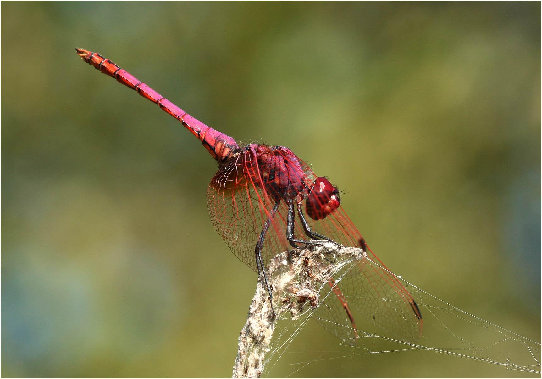 Trithemis annulata mâle, lac d'Hourtin (France-33), 17/07/2019
