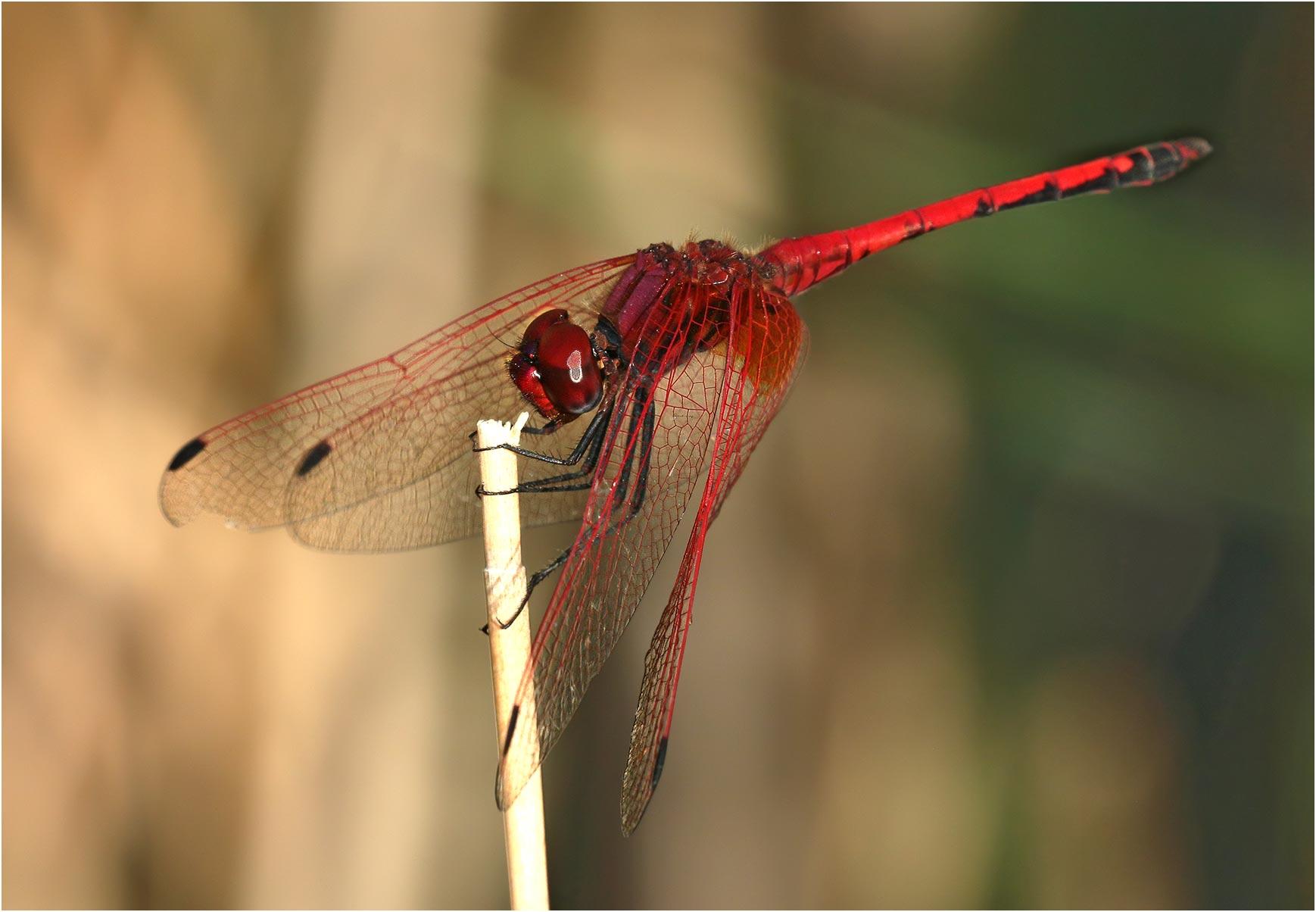 Trithemis arteriosa mâle, Namibie, Rundu sur l'Okavango, 10/02/2020