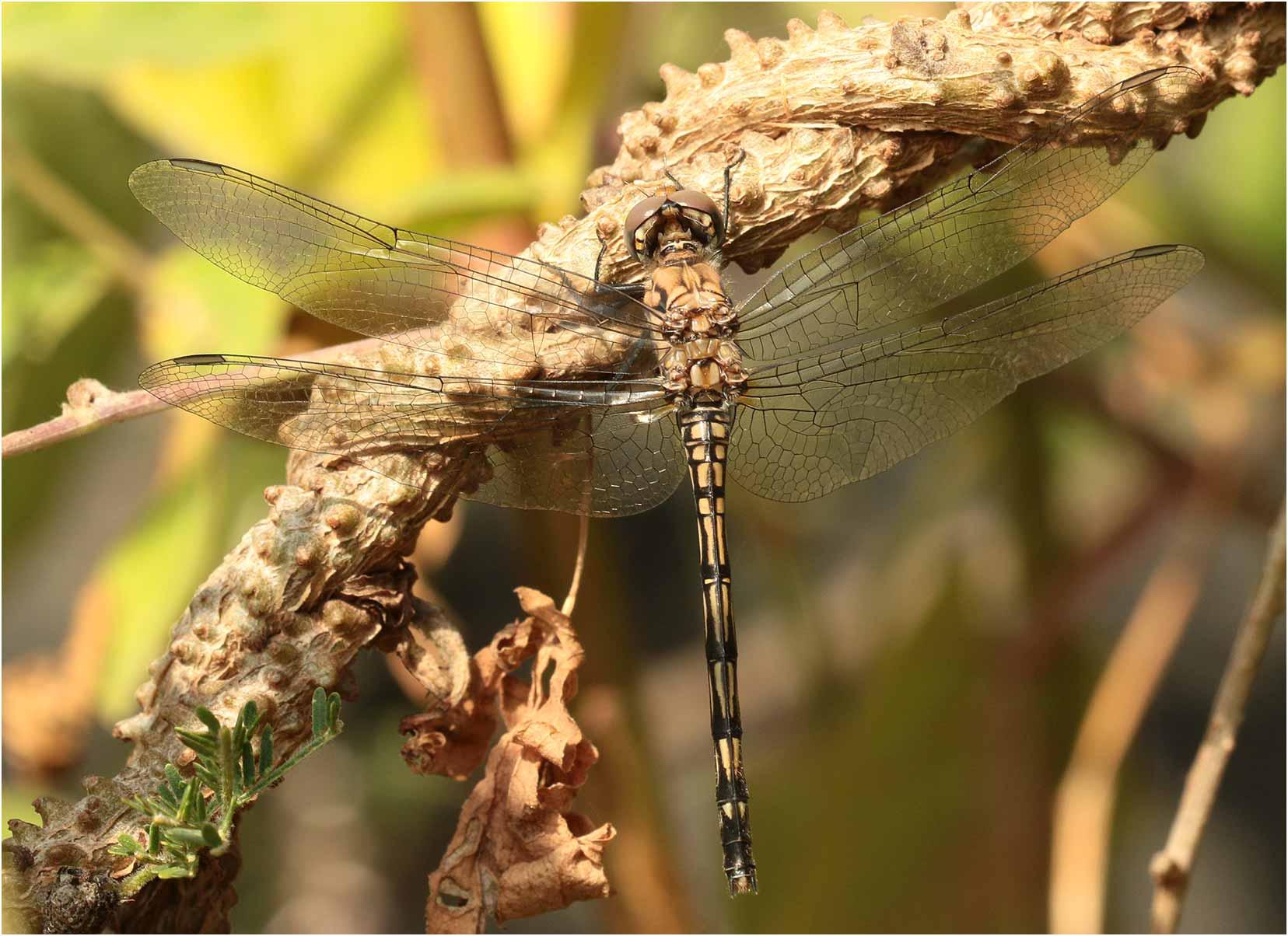 Trithemis dejouxi femelle émergente, Ethiopie, lac Langano, 01/11/2018