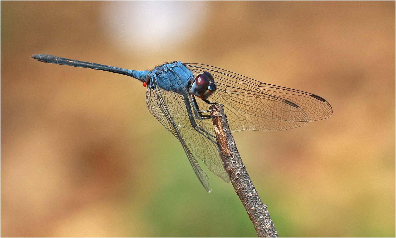 Trithemis dejouxi mâle, Ethiopie, Olo Toula, 26/10/2018